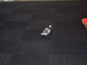 Seriously, a pidgeon inside the airport. Walking three feet from me.